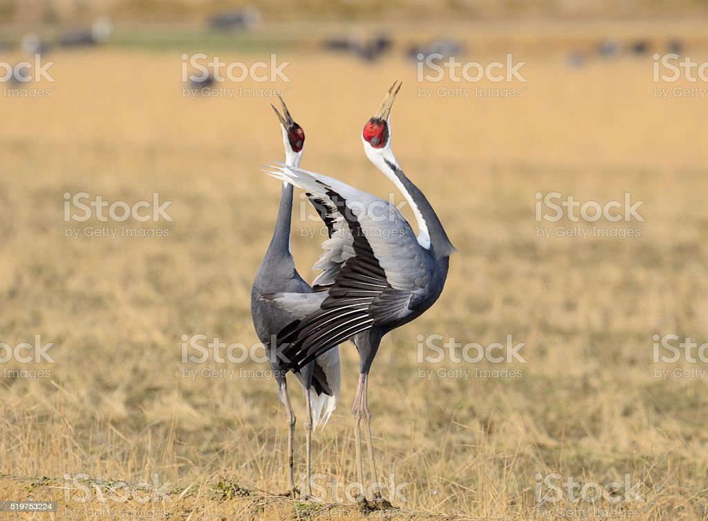 white-naped crane stock photo
