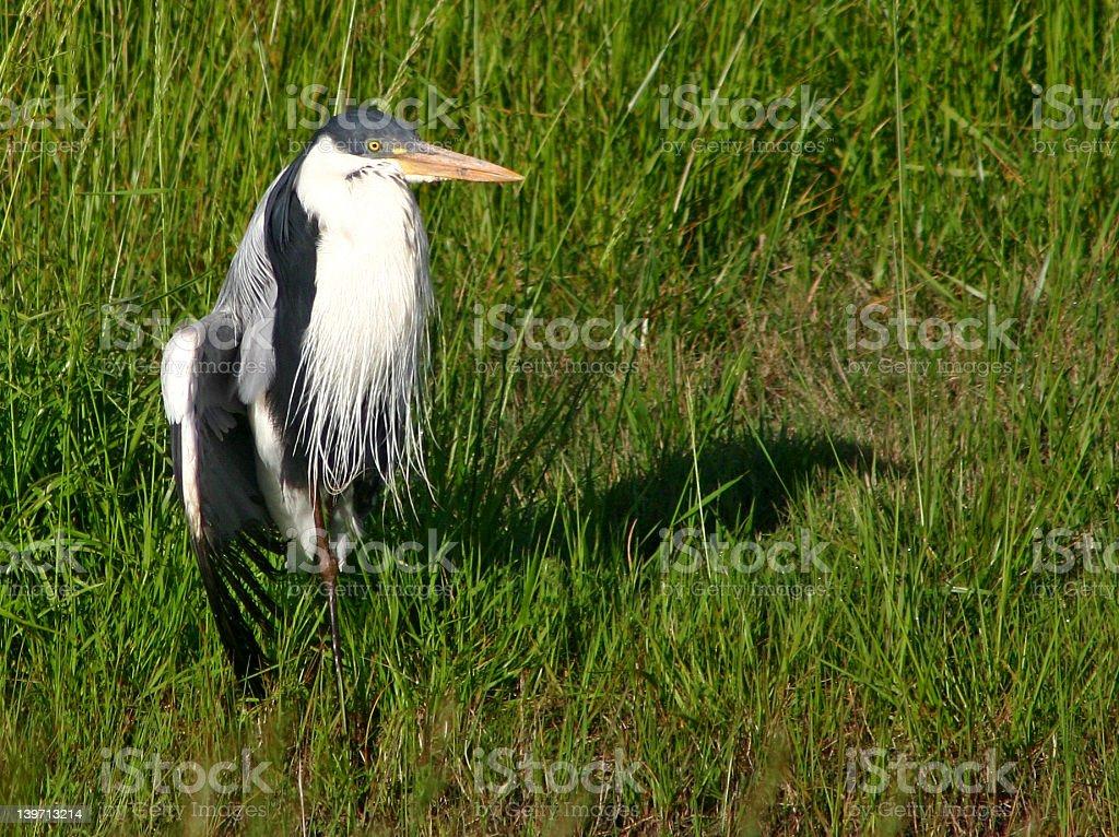 White-necked Heron (Ardea Cocoi) stock photo