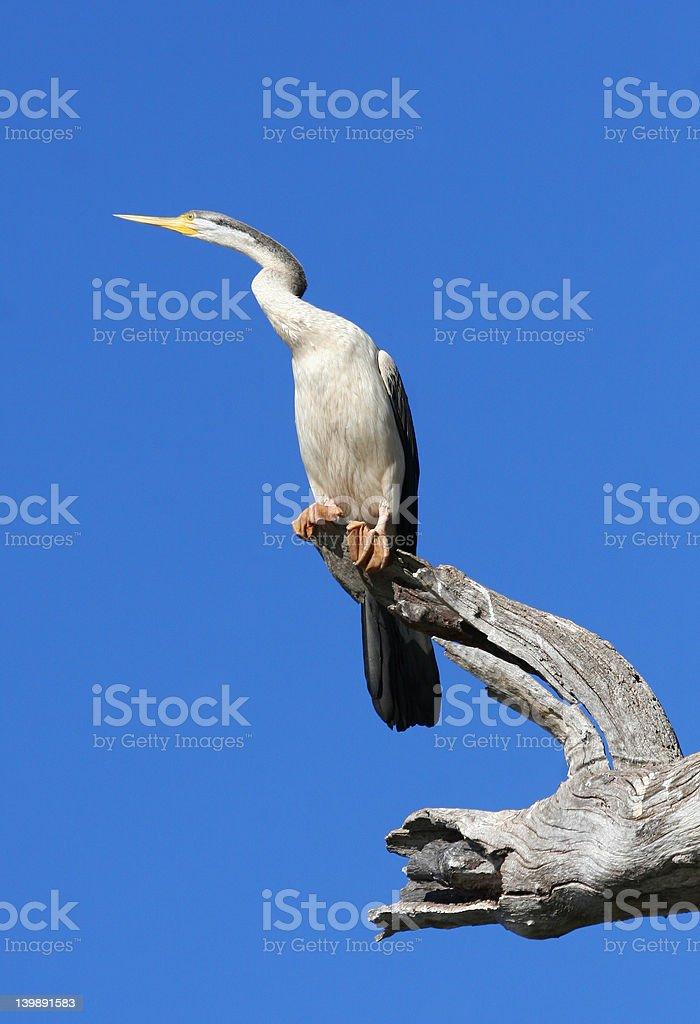 White-necked Heron stock photo
