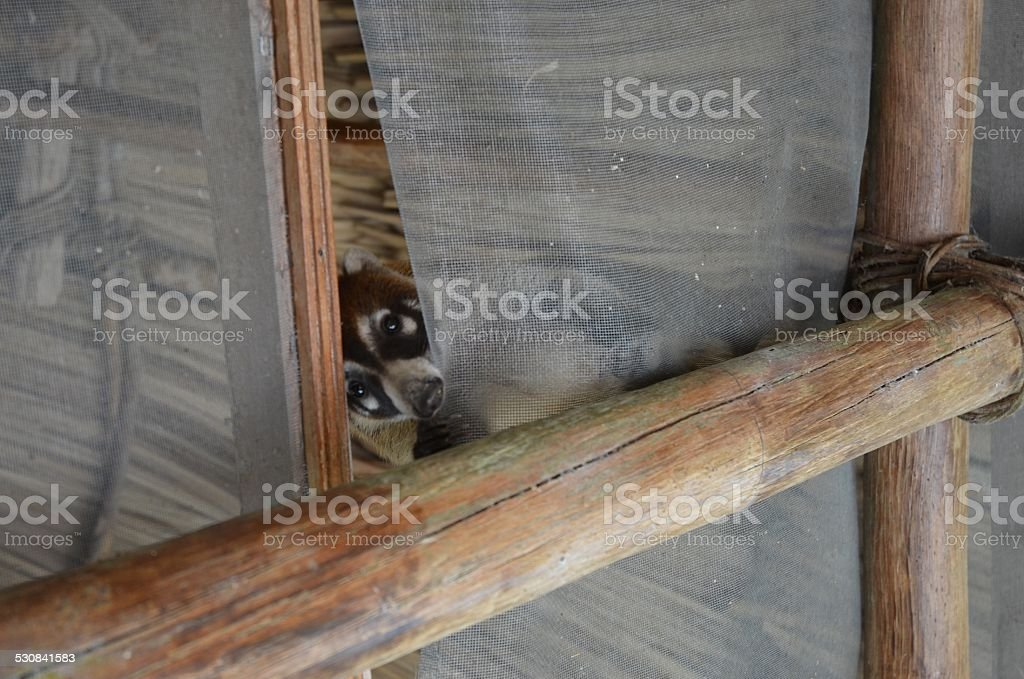 White-Nose Coati Climbing Down from Thatched Roof royalty-free stock photo