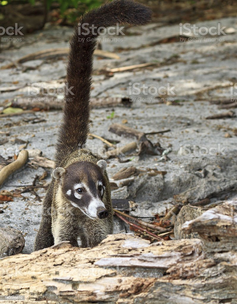 White-Nosed Coati with Long Tail royalty-free stock photo