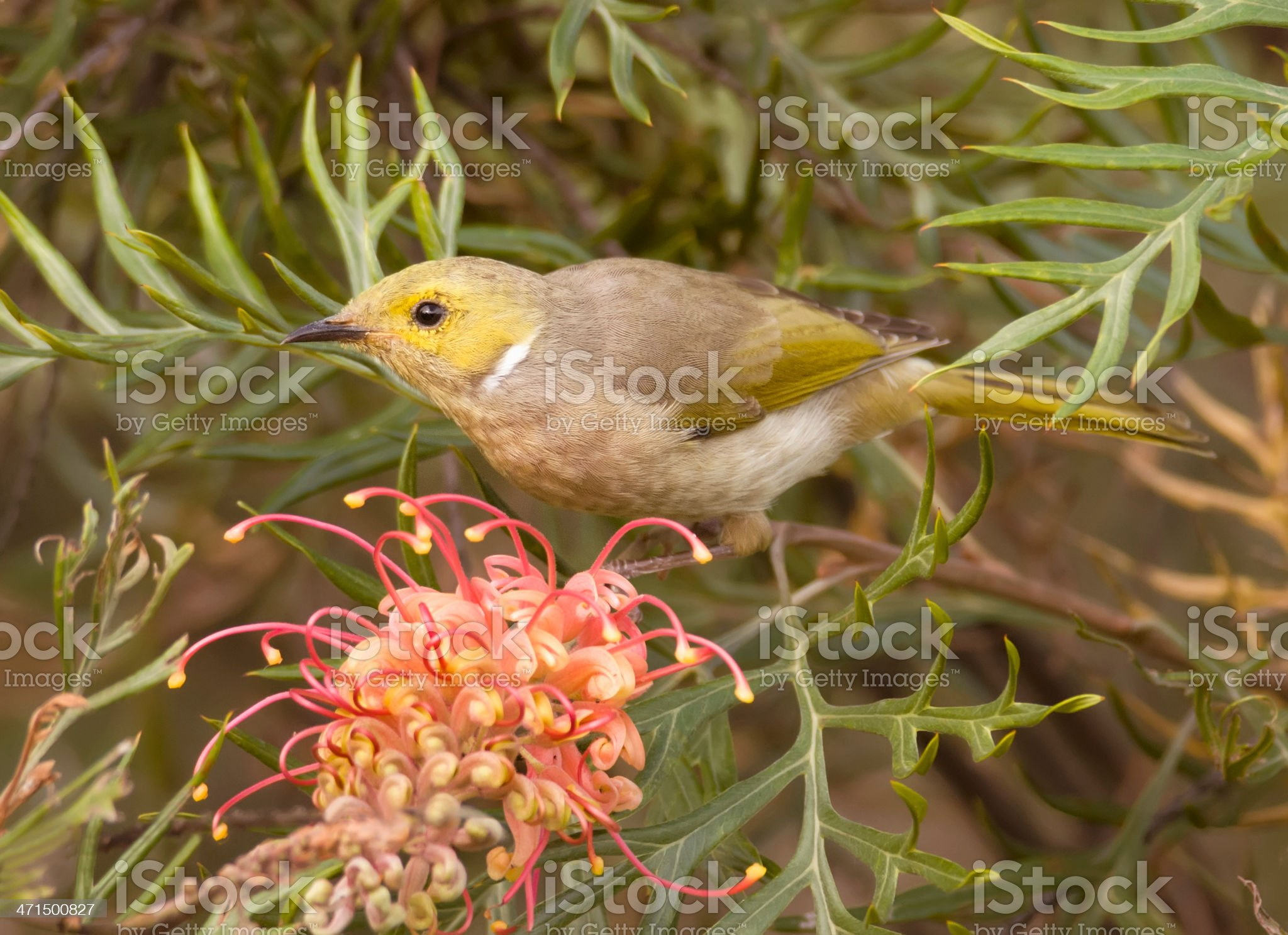 White-plumed honeyeater royalty-free stock photo