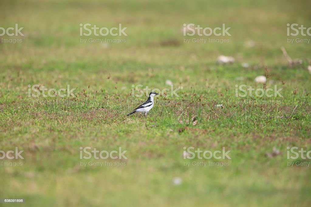 White-shouldered triller stock photo