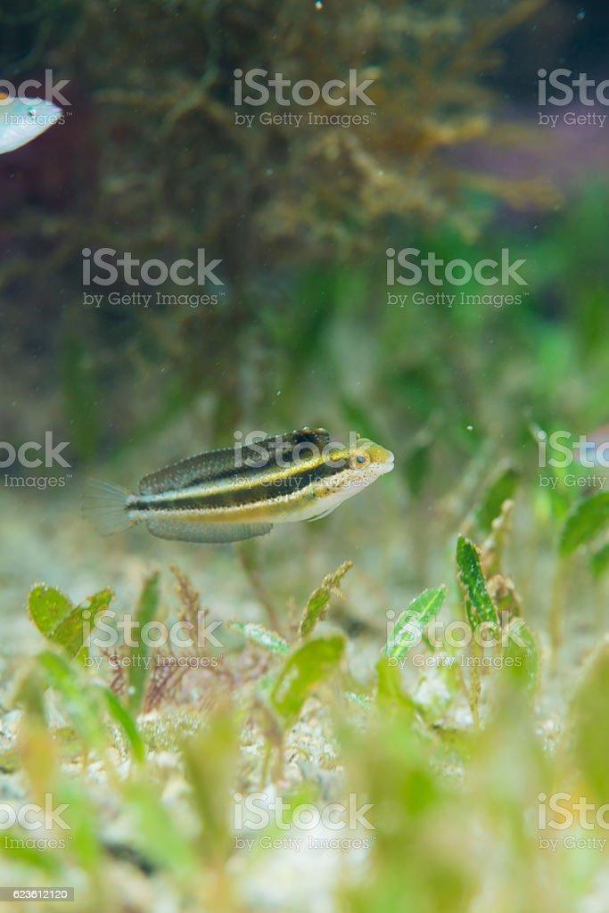 Whitespoted pygmy filefish stock photo