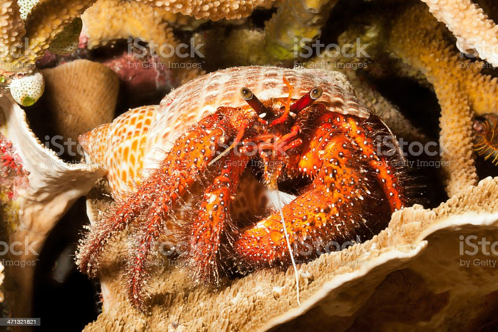 White-spotted Hermit Crab Dardanus megistos, Indonesian Reef by Night stock photo