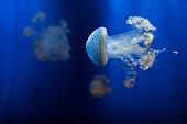 White-spotted jellyfish (Phyllorhiza punctata).