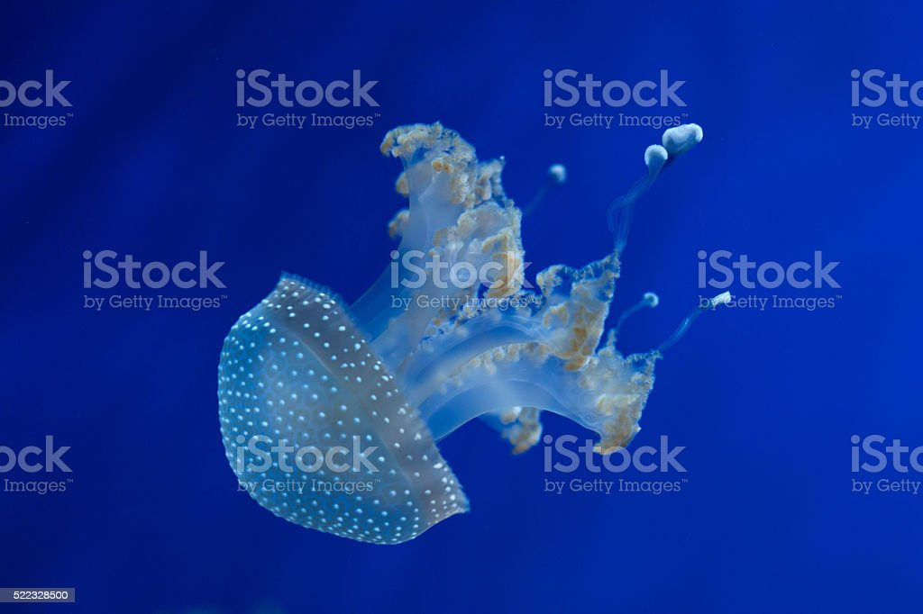 White-spotted jellyfish (Phyllorhiza punctata). stock photo