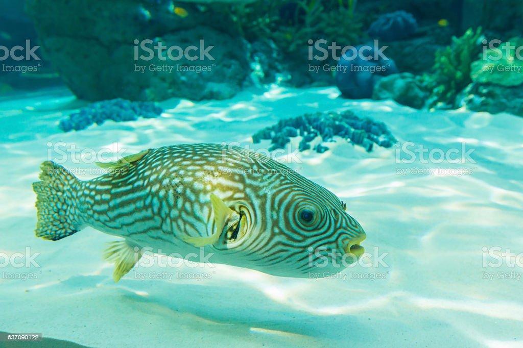 White-Spotted puffer, Arothron Hispidus, aquarium fish stock photo