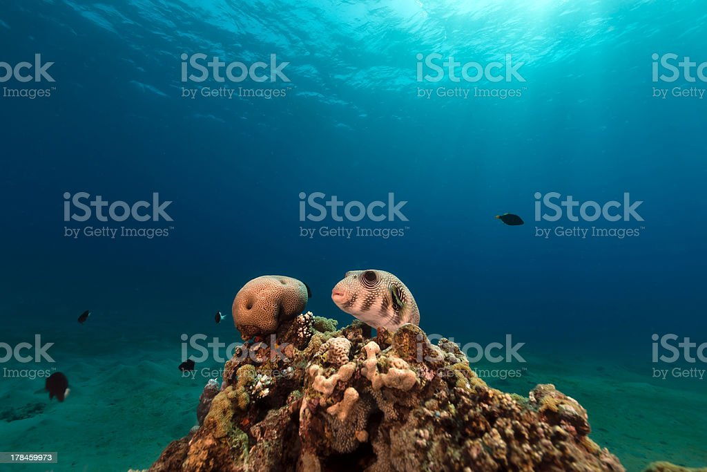 Whitespotted puffer in the Red Sea. stock photo