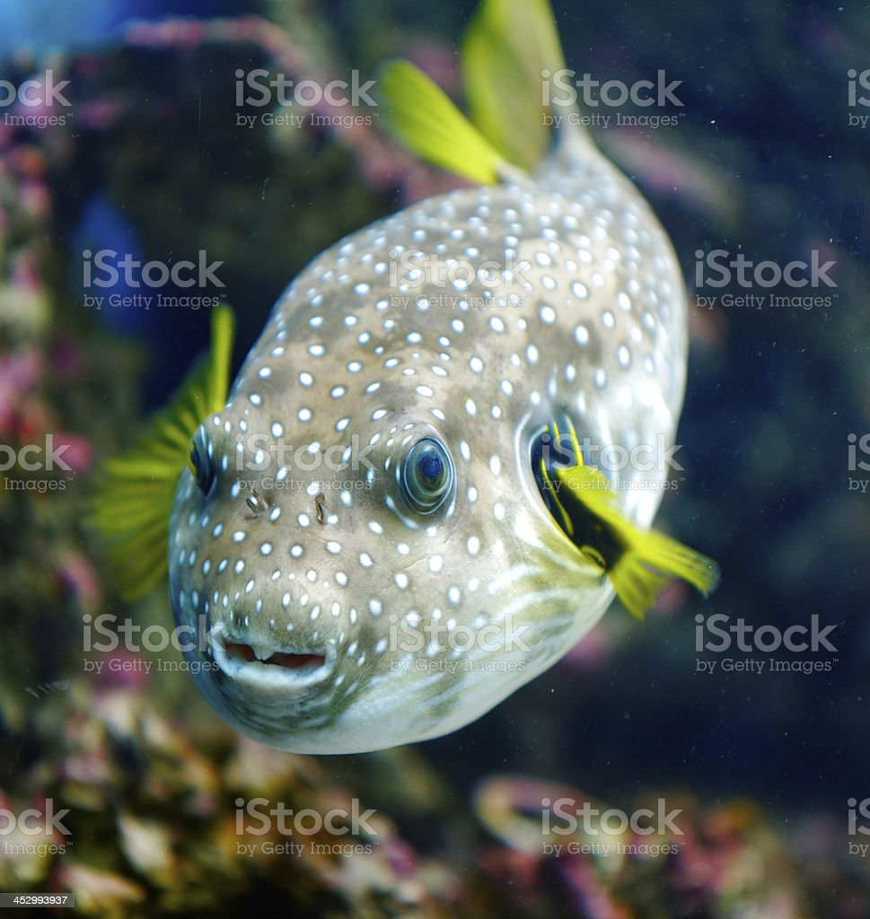 White-spotted puffer stock photo
