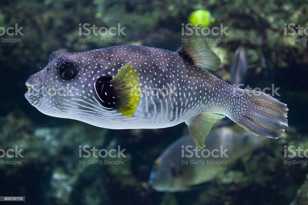 White-spotted puffer (Arothron hispidus). stock photo