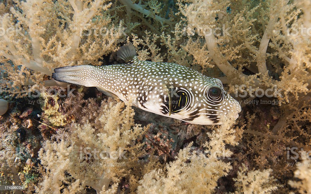Whitespotted pufferfish on a coral reef stock photo