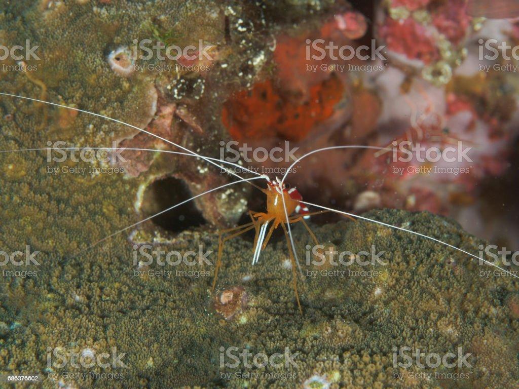White-striped cleaner shrimp stock photo
