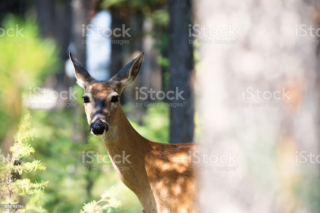 Whitetail behind a Tree stock photo