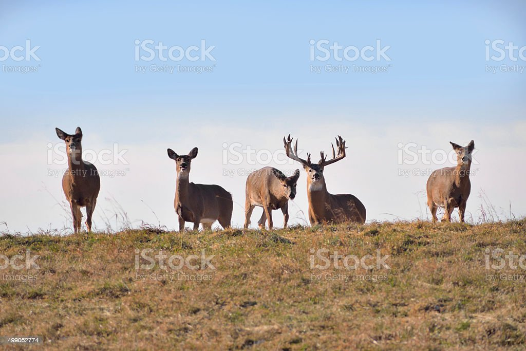 Whitetail buck and does stock photo