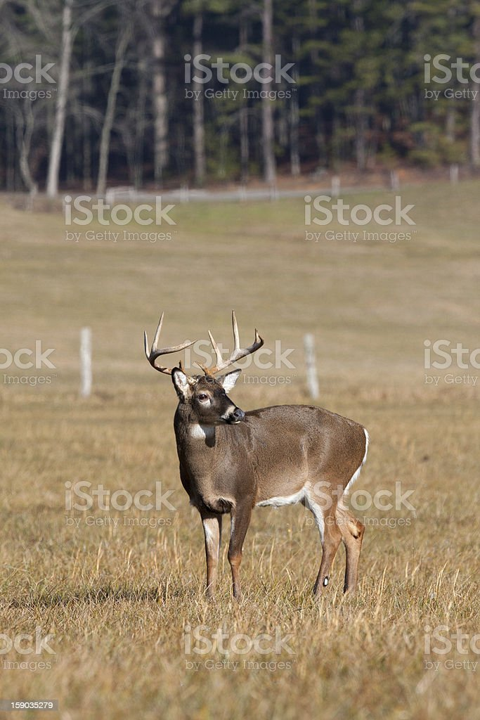 Whitetail buck deer in field royalty-free stock photo