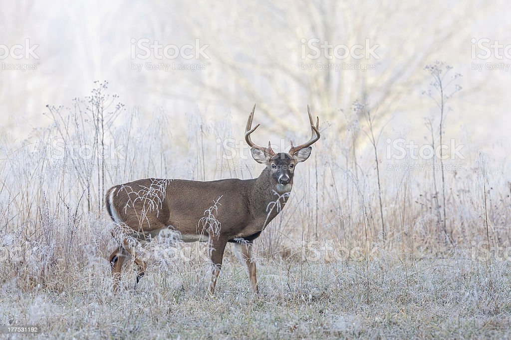 Whitetail buck deer in frost fog stock photo