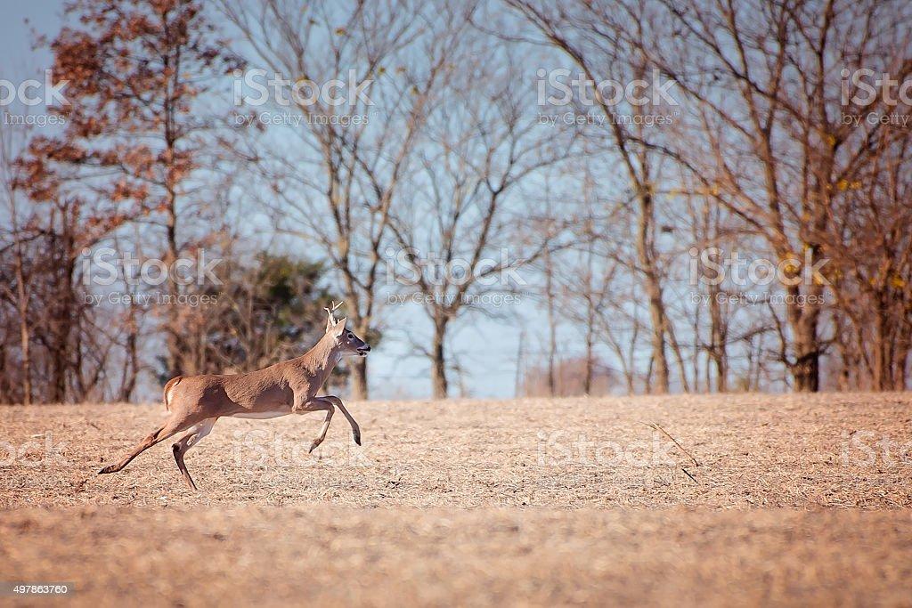 Whitetail buck deer runs in a field stock photo