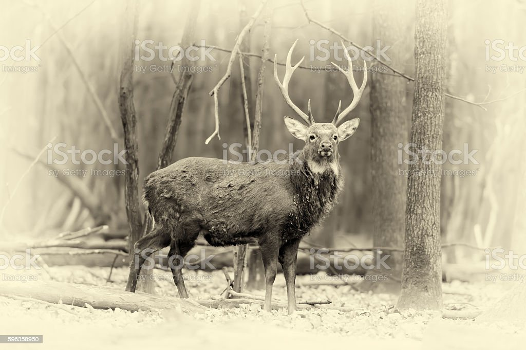 Whitetail buck deerstag in forest. Vintage effect stock photo
