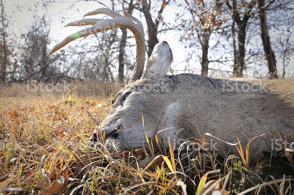 whitetail buck harvest royalty-free stock photo