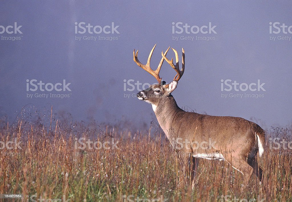 Whitetail Buck in Foggy Meadow stock photo