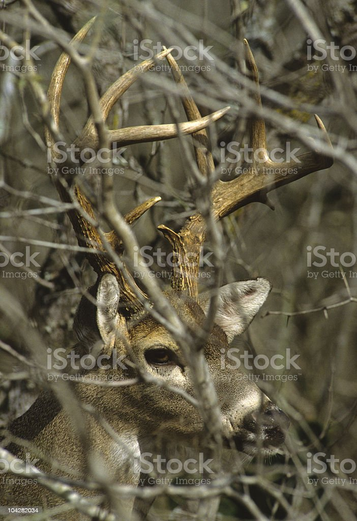 Whitetail Buck in Thick Cover stock photo