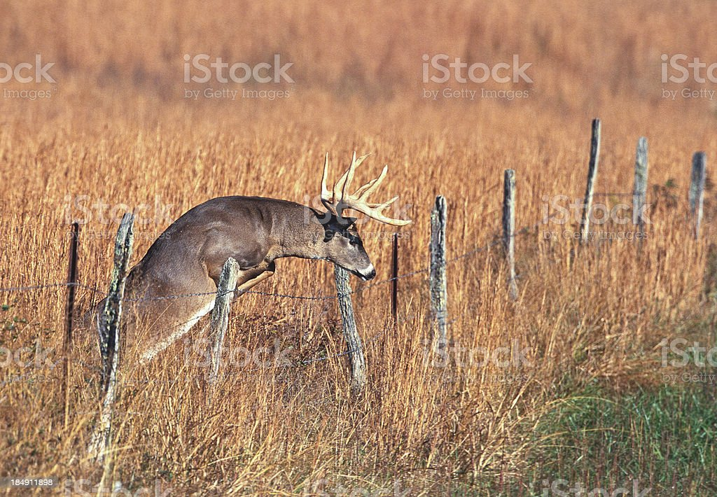 Whitetail Buck Jumping Fence stock photo