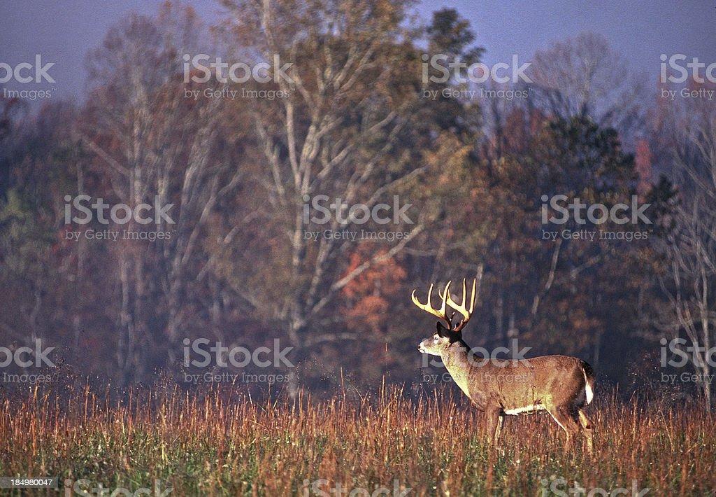 Whitetail Buck Scanning Field stock photo