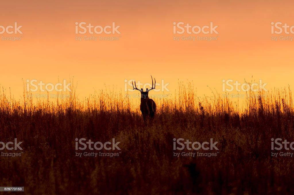 Whitetail Buck Silhouette stock photo