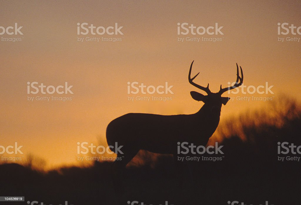 Whitetail Buck Silhouetted in Sunset stock photo