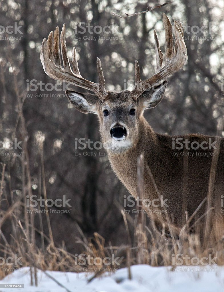 Whitetail buck stands alert in the snow stock photo