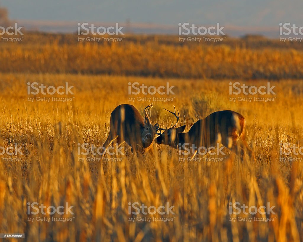 White-tail Bucks Sparring stock photo