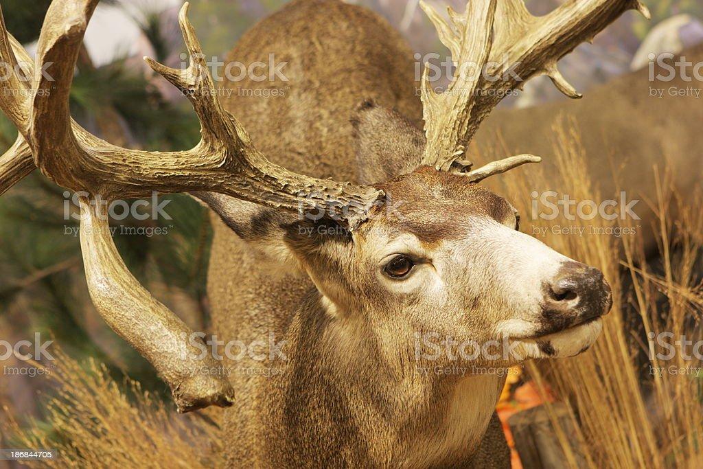 Whitetail Deer Buck Antler stock photo