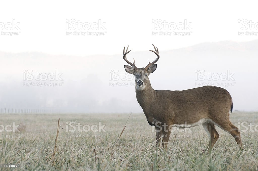 Whitetail deer buck in an open field stock photo
