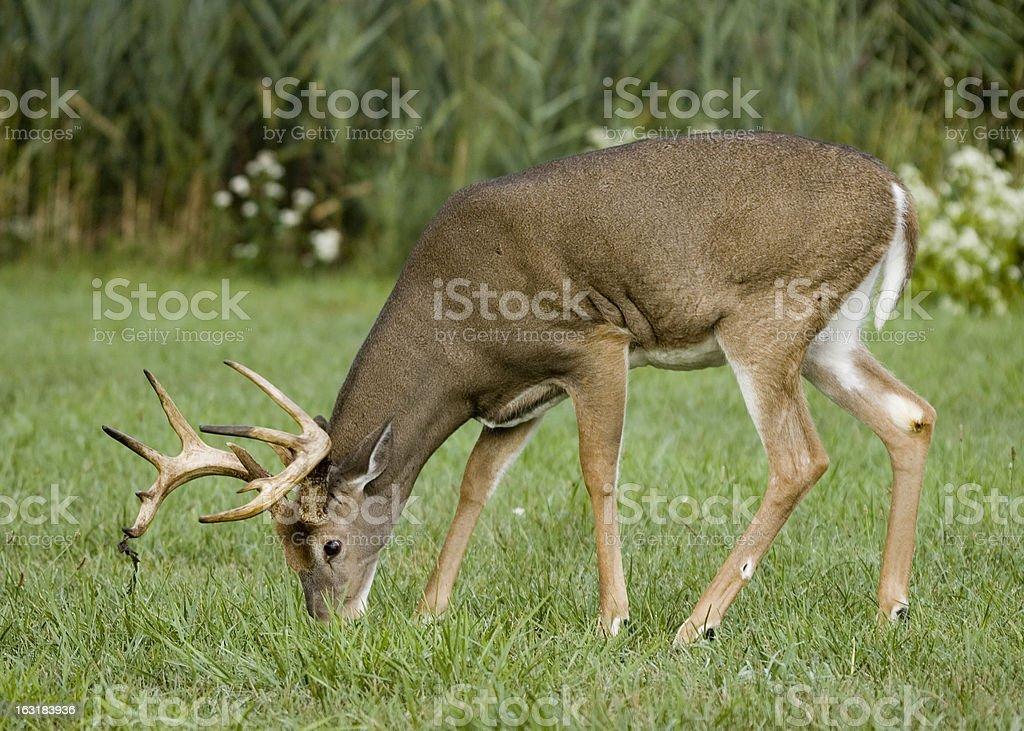 Whitetail Deer Buck (Odocoileus virginianus) royalty-free stock photo