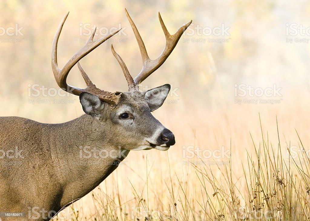 Whitetail Deer Buck royalty-free stock photo