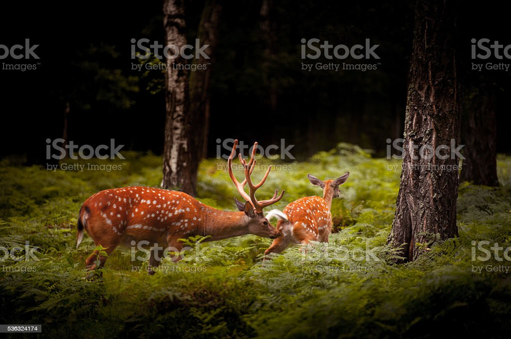 Whitetail Deer Buck standing in a woods stock photo