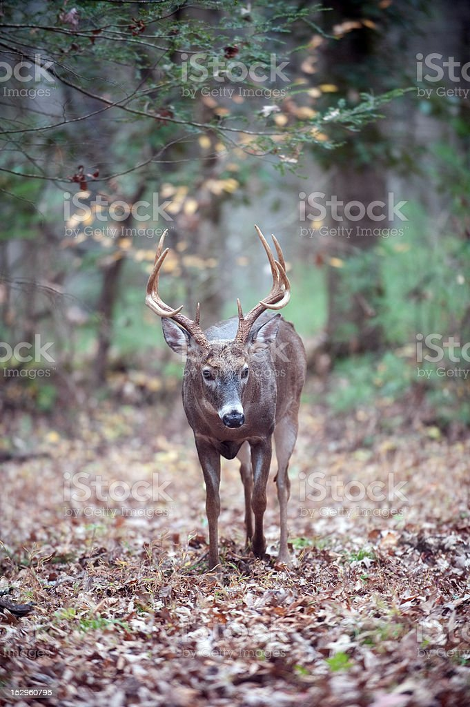 Whitetail deer buck walking in the woods royalty-free stock photo
