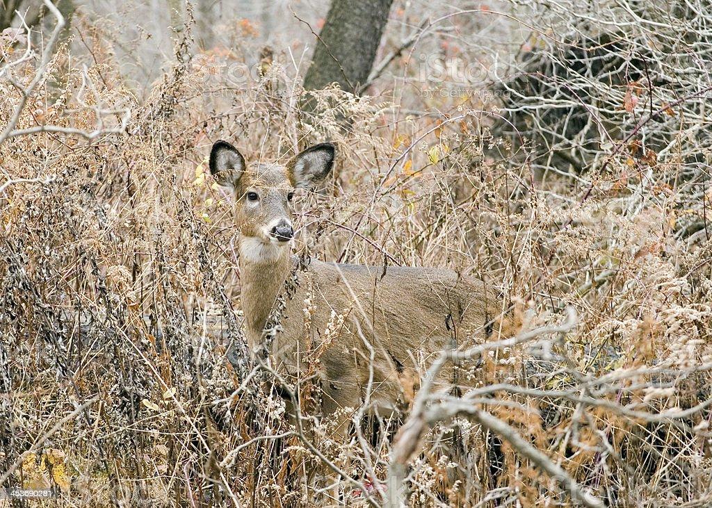 Whitetail Deer Doe royalty-free stock photo
