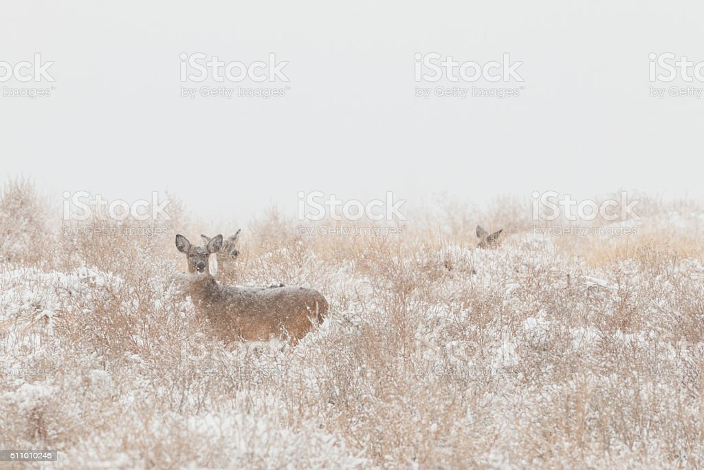 Whitetail Deer Does stock photo