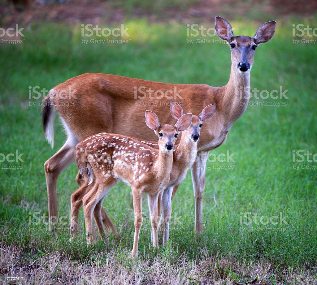 Whitetail Deer Family royalty-free stock photo