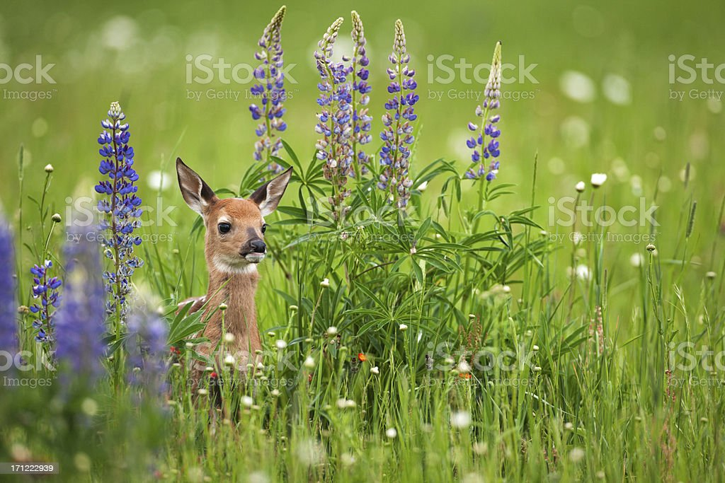 Whitetail deer fawn in spring flowers. stock photo