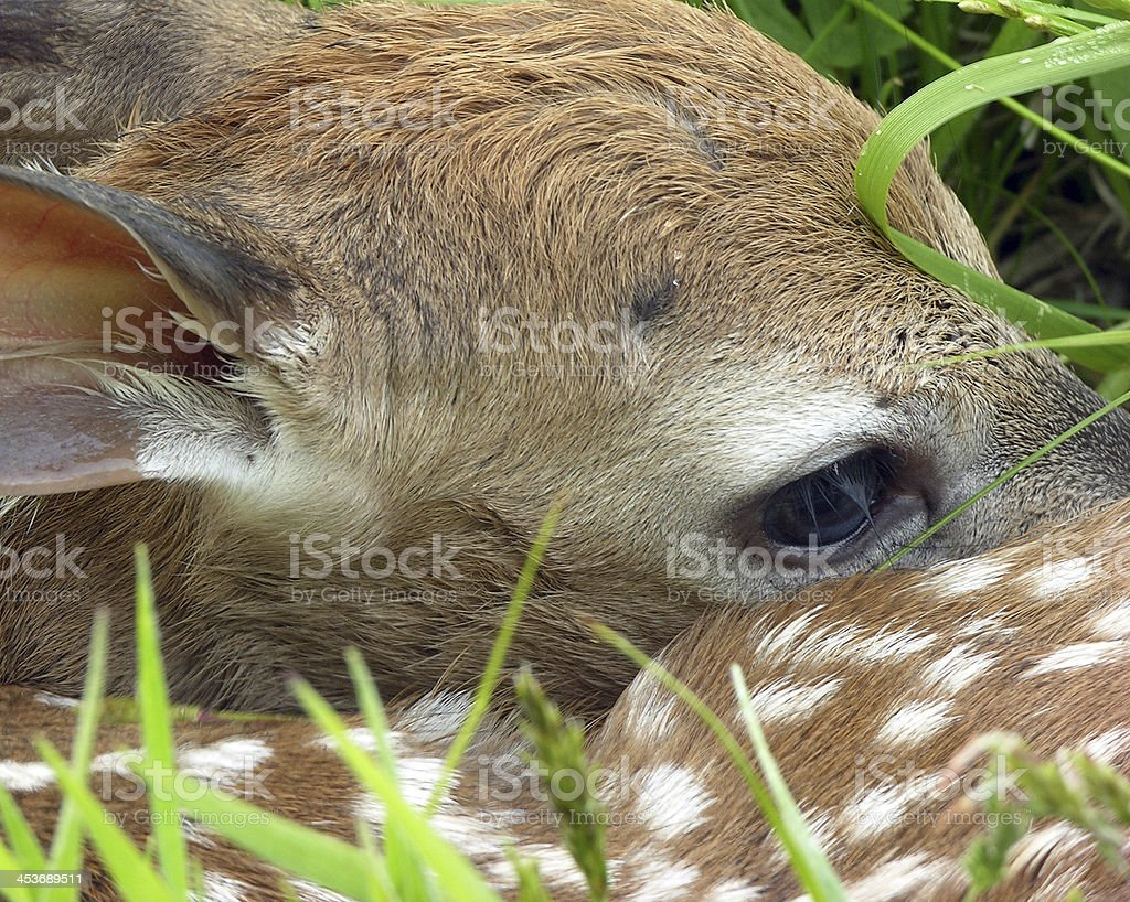 Whitetail Deer Fawn royalty-free stock photo