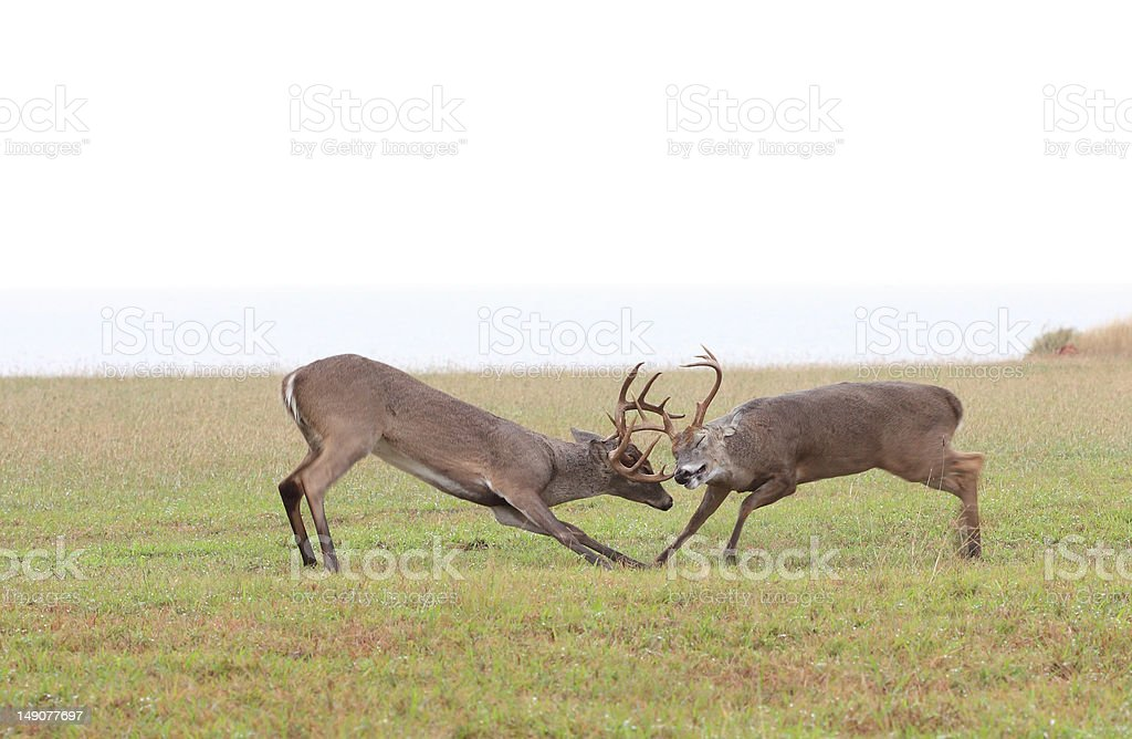 Whitetail Deer Fighting royalty-free stock photo
