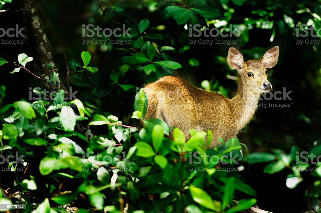 Whitetail Deer in Forest stock photo