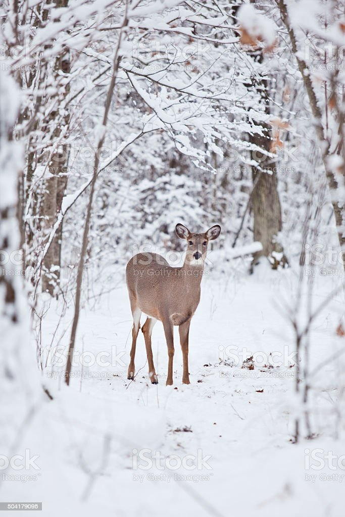 Whitetail deer in snow stock photo