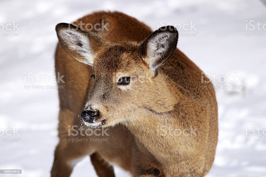 White-tail deer in the snow stock photo