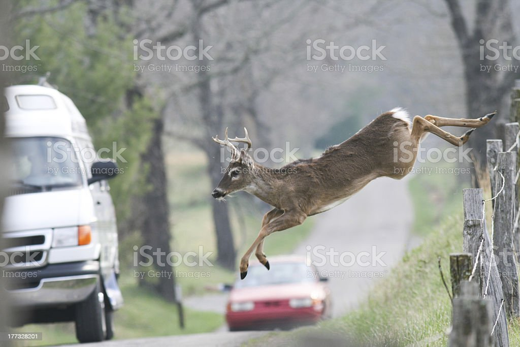 Whitetail deer jumping fence in frount of vehicles cars stock photo