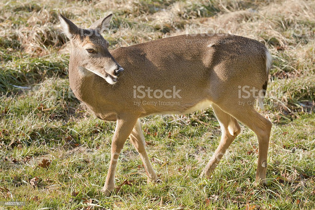 White-tail Deer (Odocoileus virginianus) royalty-free stock photo