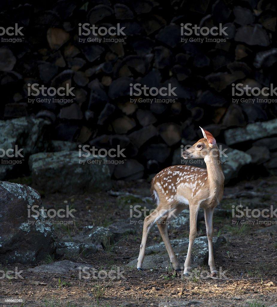 Whitetail Deer royalty-free stock photo